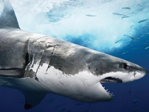 белые_акулы