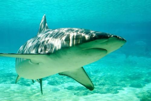 sharksurfer